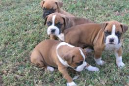 4D Boxer Buddies Home Page